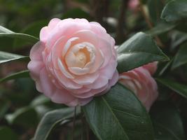 Live Plant - Pink Perfection Camellia Japonica - Quart Pot - Outdoor Living - $61.99