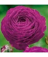 10 Ranunculus Aviv Purple Bulbs,Persian buttercup corms, Purple double f... - $19.99