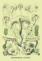 Jellyfish: Leptomedusae Octorchis by Ernst Haeckel - Art Print - $19.99+