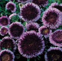 50 Pcs Seeds Callistephus Pompon Moon Aster Blue Flower - DL - $18.00