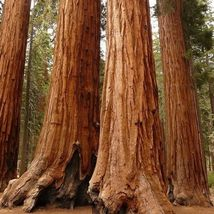 Sequoiadendron giganteum thumb200