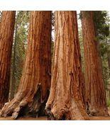 15 Seeds - Giant Sequoia Plant Tree Fast Growing (Sequoiadendron giganteum) - $9.99