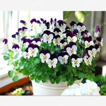 Pansy seeds Mix Color Wavy Viola Tricolor Flower Seed bonsai potted 100pcs - $3.99