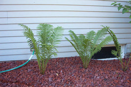 Tennessee Ostrich-Glade fern 5 rhizome bare root image 1