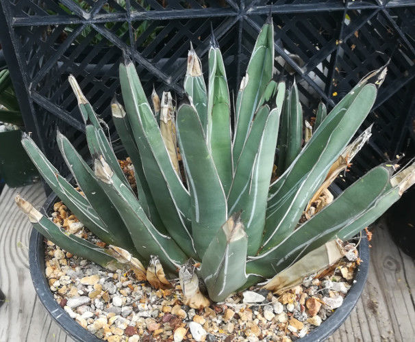Agave ferdinand regis King of Agaves Tricuspid Terminal Spine 72