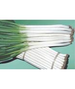 1000 ISHIKURA IMPROVED Japanese Bunching Onion seeds, Allium fistulosum - $18.96