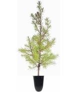 Southern Red Cedar Tree   Live Plants   Juniperus Virginiana Silicicola - $29.94 - $129.43