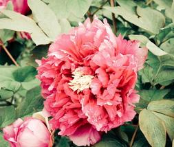 5pcs New Rare Very Enchant Purely Rose Red Peony Tree 'Princess' Flower Seeds - $12.95