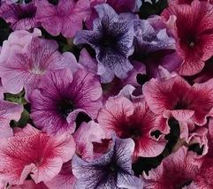 1000pcs 7 Variety Very Wonderful Petunia Daddy Series Pelleted Fresh Seeds #TLM1 - $27.99