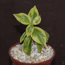 """SHIP From US, 4"""" pot Pereskia aculeata, succulent plant cacti cactus ECC - $44.99"""