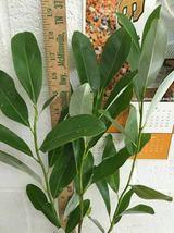 SWEETBAY MAGNOLIA, Laurel Magnolia, Swamp Magnolia qt. pot image 4