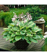 200Seeds/bag Hosta plants,Hosta 'Whirl Wind' in full shade,mixed color f... - $4.29