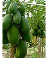 10+ Very Fresh seeds - Dwarf Waimanalo Papaya - Rare! tropical fruit tre... - $13.86