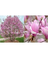 Live Plant Jane Magnolia Tree - Hardy Established Rooted - 3 Plants in 2... - $74.99