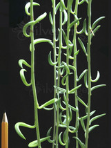 String of Pearls Bananas Plant — Senecio radicans Easy to Grow Hanging S... - $6.71