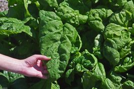 1 oz pack Spinach Seeds Monstrueux de Viroflay Organic French Heirloom S... - $12.25