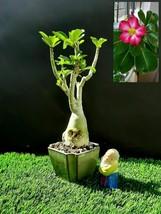 Adenium obesum Bonsai (Desert Rose) - 14 year old plant - $49.24