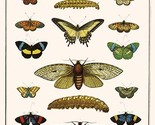 Butterflies, Garden acraeas, Caterpillars, Ornamented utetheisas, by Albertus Se