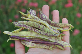 Bean Seeds - Wax Bush - Dragons Tongue  - Vegetable Seeds - Outdoor Living - $31.99+
