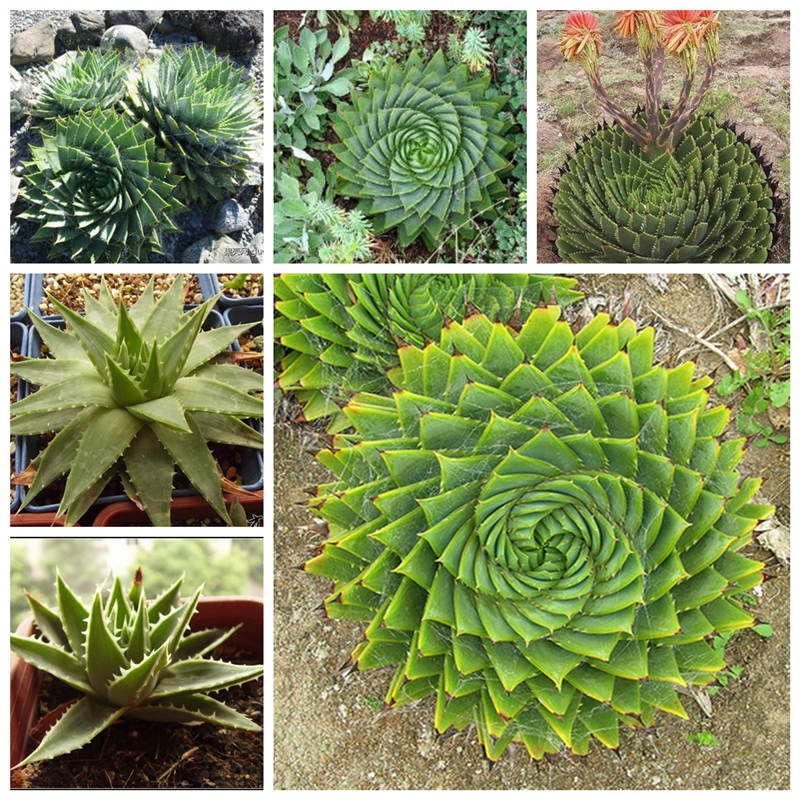 New arrival wholesale price 5 seeds spiral aloe aloe polyphylla