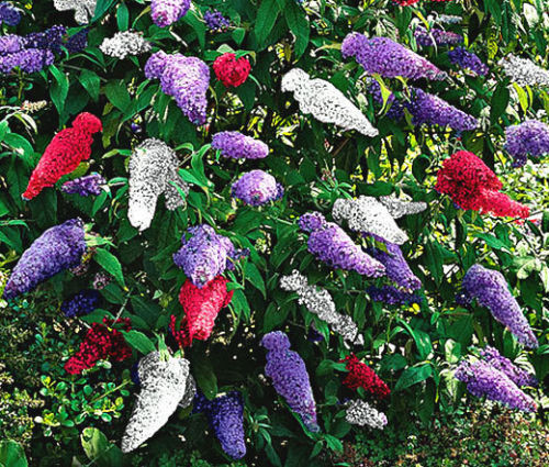 Primary image for BUTTERFLY BUSH MIXED COLORS Buddleia Davidii - 200 Bulk Seeds