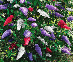 BUTTERFLY BUSH MIXED COLORS Buddleia Davidii - 200 Bulk Seeds - $30.53