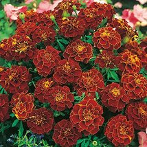 Marigold (French) Red Cherry Seeds 50 Seeds - $24.75