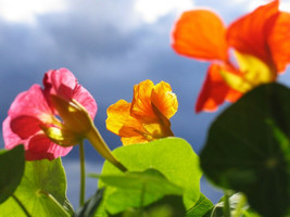 "60 ""Tall Trailing Mix"" Nasturtium Seeds Culinary Flower Beautiful Edible... - $16.99"