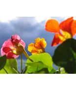 "60 ""Tall Trailing Mix"" Nasturtium Seeds Culinary Flower Beautiful Edible... - $16.99"