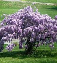 Wisteria potted thumb200