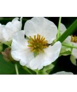 500 White Broadleaf ARROWHEAD Sagittaria Latifolia POND WETLAND Flower S... - $14.00