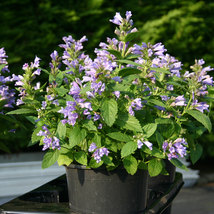 PREMIUM SEED: 50 Pcs Panther Dark Blue Japanese Catmint Seeds, Fragrant plant PK - $10.95