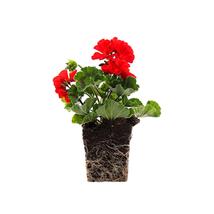 """Geranium Presto Red Flowering Plant - 4"""", Quart 4in - Great Houseplant G... - $19.95"""