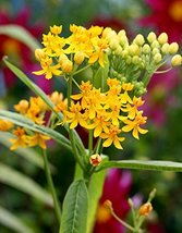 Yellow Milkweed Butterfly Monarch Butterfly Garden well-rooted cutting - $47.51