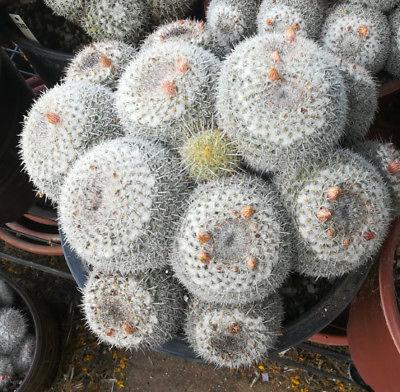 Mammillaria parkinsonii Large Mound of Splitting Heads Cactus 91