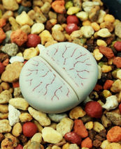 Lithops Gracilidelineata, Living Stones Exotic Rock Ice Plant Rare Seed 15 Seeds - $11.40