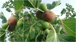 """Chicago Hardy Fig Tree (4-6"""") - Home Gardening Outdoor Living - $41.99"""