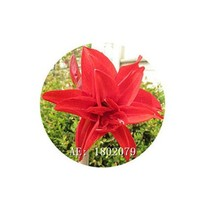 HAPPY FLOWER 2 Bulbs SAMAAN True Hippeastrum Rutilum Amaryllis Love Symbol - $1.79