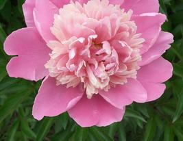 5 pcs Very enchant Peony Light Pink Petals Crested Flower Seeds - $13.90