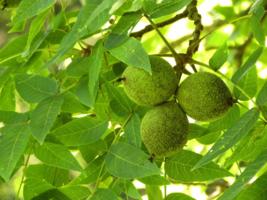 Black Walnut tree native quart pot  image 6