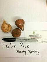 Tulip Mix Early Spring bloomers 3 bulbs image 2