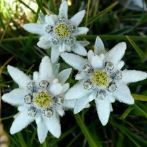 Edelweiss Alpine Flower Seeds - $8.86