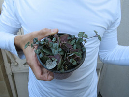 String of Hearts Plant Succulent Ceropegia Woodii pot Succulent Green Ga... - $39.32