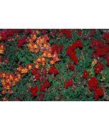 2000 Seeds - Snapdragon Corona Mix Antirrhinum Majus #SFB15 - $17.99