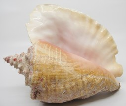 Large Conch Shell 8x11x5 Shedding Outer Layer Seashell Beach Decor - $24.74