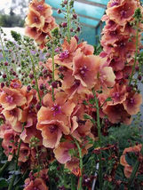 SHIPPED FROM US 200 MIXED VERBASCUM Phoeniceum Flower Seeds, LC03 - $21.00