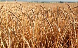 Organic Spelt (Asturia) Heirloom Non-GMO Grain Cereal Garden Crop 600 Seeds image 1