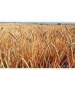 Organic Spelt (Asturia) Heirloom Non-GMO Grain Cereal Garden Crop 600 Seeds - $8.59