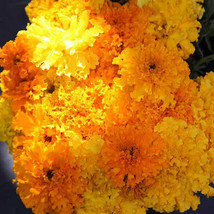 SHIP FROM US 2 G ~560 SEEDS - CRACKERJACK MARIGOLD SEEDS - NON-GMO, TM11 - $16.44