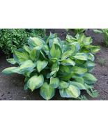 "1 Live Potted Plant - hosta CAPTAIN KIRK medium gold disease-free 2.5"" pot - $49.99"